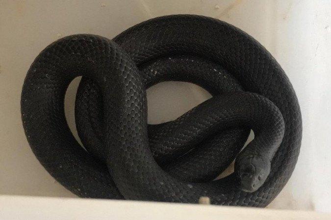 A serpente encontrada é nativa do cerrado - (crédito: PMDF/Divulgação)