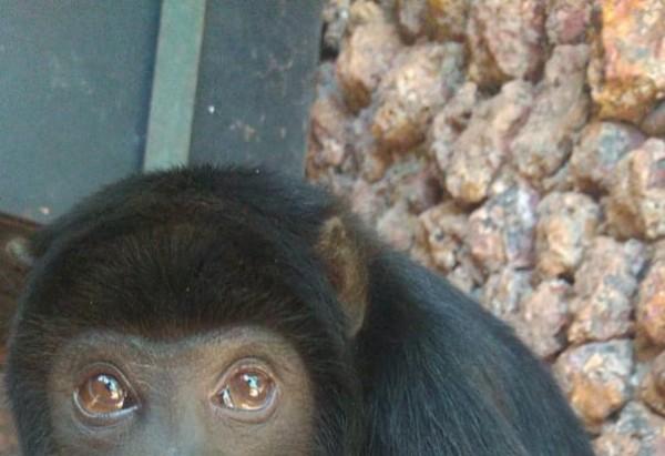 O filhote é da espécie bugio-de-mãos-ruivas (Alouatta belzebul) - (crédito: Divulgação/zoológico de Brasília)