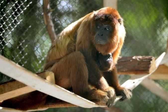 Macaco Bugio ruivo