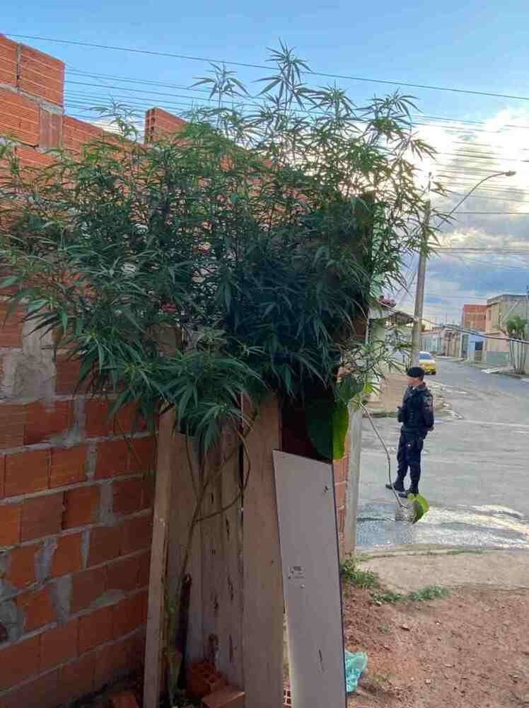 Polícia prende homem com pé de maconha de três metros em casa, em Planaltina. PMDF recebeu denúncia de que morador estaria cultivando planta na própria residência. Arbusto era visível por cima do muro do local