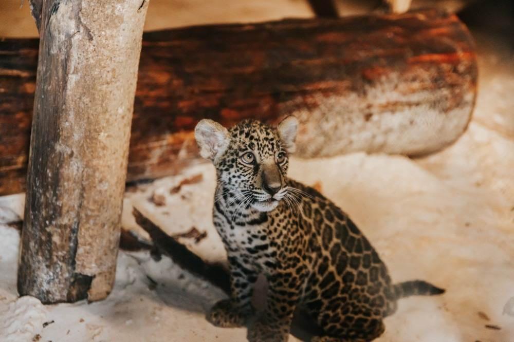 Os filhotes de onça foram encontrados debilitados em um propriedade rural particular de Juara (a 694km de Cuiabá)