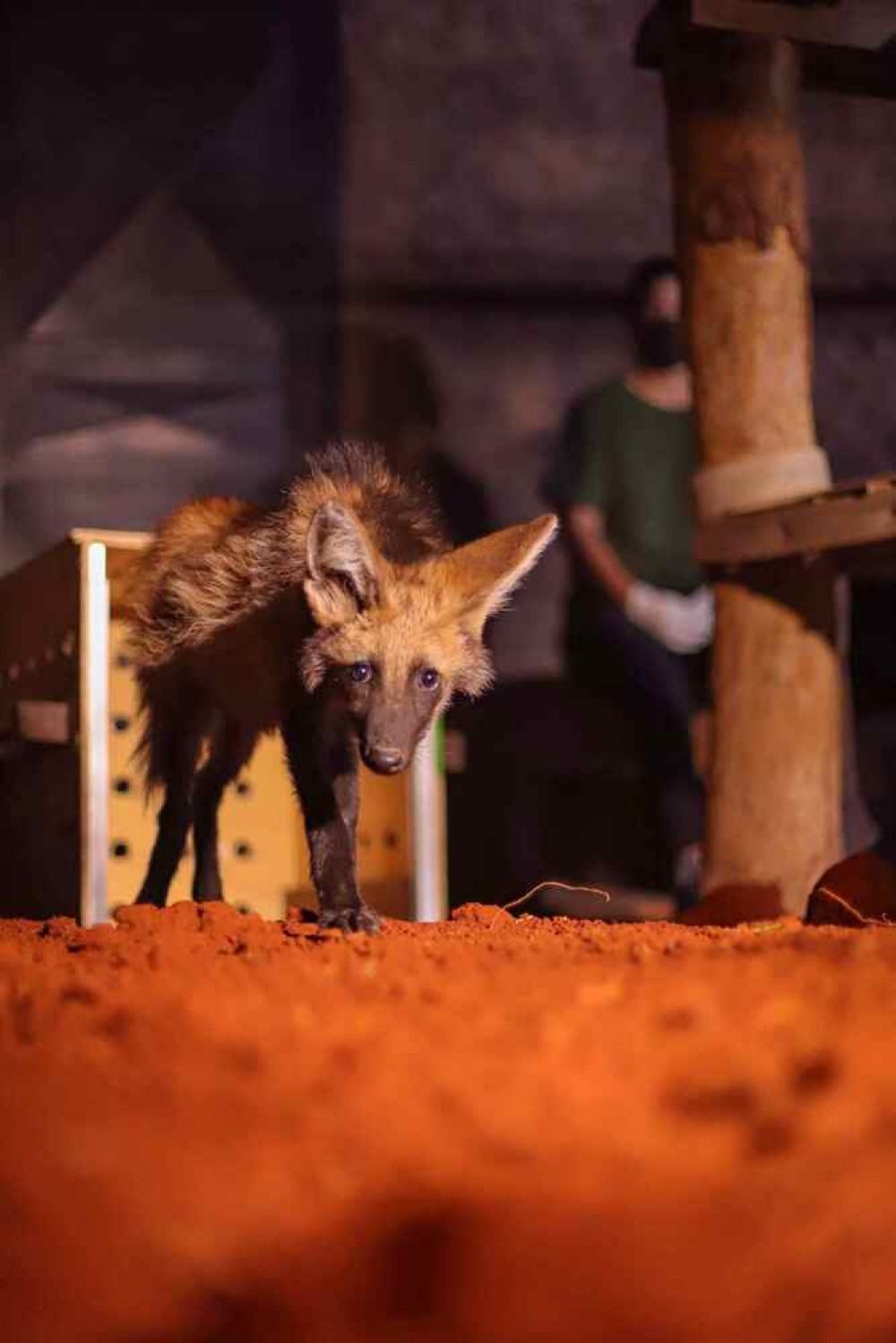 O filhote de lobo-guará foi resgatado perto do município de Cáceres, no MT, em uma região de queimada